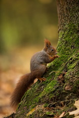 Squirrel. The squirrel was photographed in the Czech Republic. Squirrel is a medium-sized rodent. Inhabiting a wide territory ranging from Western Europe to Eastern Asia. Free nature. Beautiful pictur