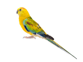 parrot (haematonotus psephotus) isolated