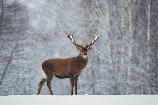 Christmas Scenic Wildlife Landscape With Red Noble Deer And Falling Snowflakes.Adult Deer (Cervus Elaphus, Cervidae ) With Snow-Covered Branched Antlers On The Background Of Snow-Covered Winter Forest