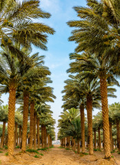 Plantation of date palms. Image depicts advanced tropical and desert agriculture in the Middle East