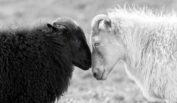 Black and white sheep on pasture