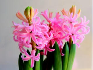 Pink Hyacinth in Full Bloom, Detail
