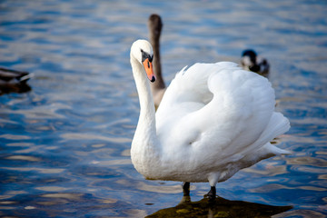 White Swan standing on the shore of lake