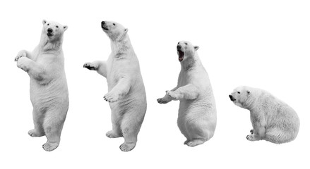 Zelfklevend Fotobehang Ijsbeer A collage of polar bear in various poses on a white background isolated