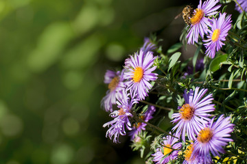 Aster amellus, the European Michaelmas-daisy, is a perennial herbaceous plant of the genus Aster. In the language of flowers, symbolizes a farewell or a departure.