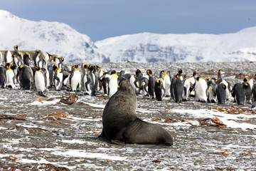 A young fur seal poses in front of a colony of king penguins on Salisbury Plain on South Georgia in Antarctica
