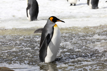 A king penguin stands in slush on Salisbury Plain on South Georgia in Antarctica