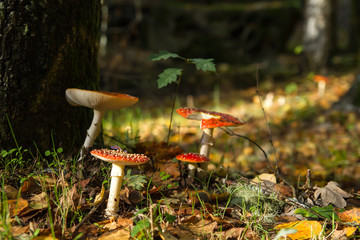 Amanita muscaria growing wild in a woodland