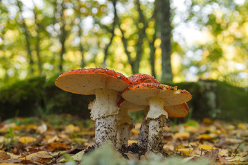 Amanita muscaria or fly agaring mushrooms growing wild in the dirt in autumn