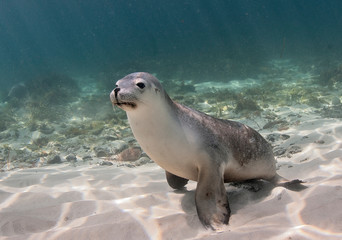 Australian sea lion playing