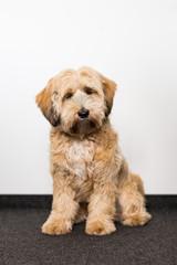 Süßer Hund sitzt vor einer weißen Wand