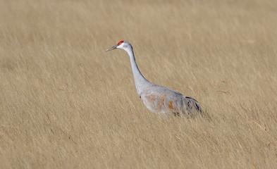 Sandhill crane in native grass field at Bosque del Apache National Wildlife Refuge in central New Mexico