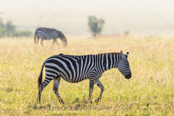 Zebra walking at the savanna