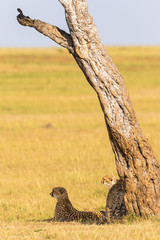 Cheetah with cubs in the shade under a tree on the savannah