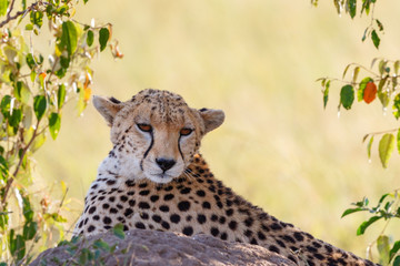 Cheetah lying down in the shadow and rest