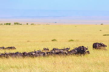 Savanna landscape with resting African buffalos herd in the grass
