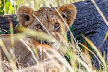 Cute Lion cub in the shadow