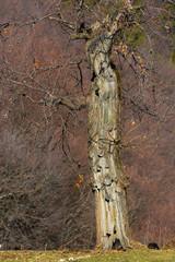 albero di castagno (Castanea sativa)