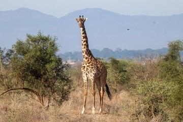 Giraffe im Amboseli Nationalpark