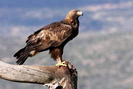 Adult female of Golden Eagle Aquila chrysaetos