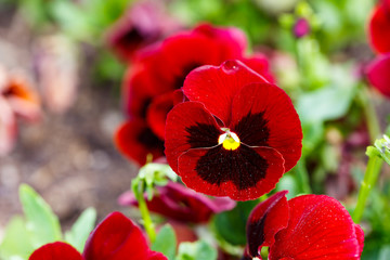 Red pansy flowers are blommong in the garden
