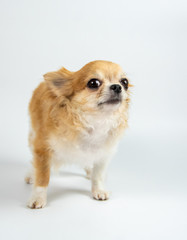 Chihuahua dog isolate on white background in studio