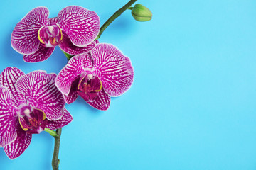 Branch with beautiful tropical orchid flowers on color background, top view. Space for text