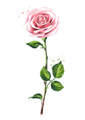 Pink rose. Watercolor hand drawn illustration,  isolated on white background