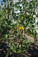 Cherry tomatoes on farm