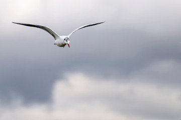 A seagull flies in the cloudy sky of an autumn day
