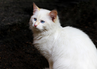 Portrait of fluffy white cat with blue eyes on dark background.