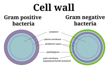Bacteria cell wall  illustration. Gram positive and gram negative cell wall differents.