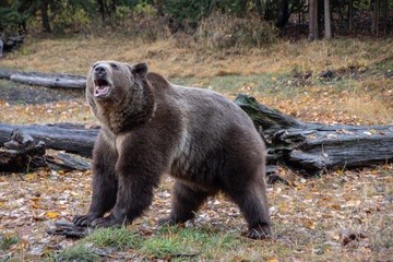 Grizzly in the Fall 5022