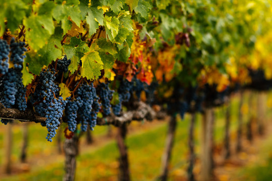 Red Wine grapes hanging on the vine