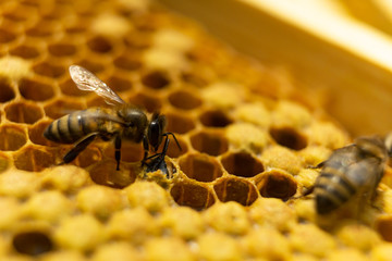 The birth of a young bee. The bee was born and comes out of the honeycomb.