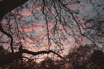 purple sky sundown with dark branches in a park