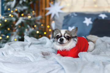 Pretty chihuahua puppy dog wearing red warm sweater in scandinavian style bedroom with Christmas tree, lights, decorative pillows. Pets friendly hotel or home room. Animals care concept.