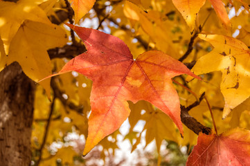 Hoja rojiza/ hoja rojiza  de arce colgando de un árbol en otoño