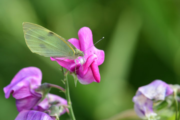 White butterfly (pieris rapae)