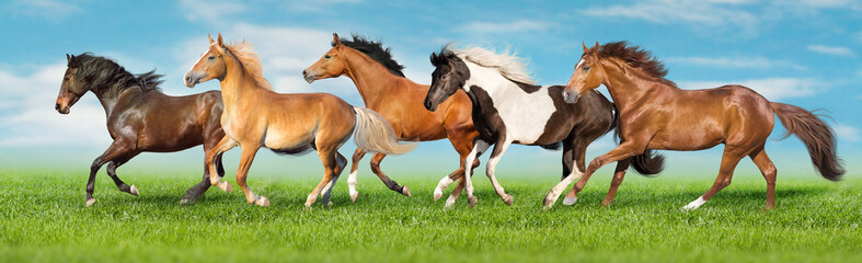 Horses free run gallop i green field with blue sky behind Wall mural