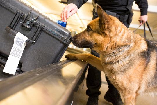 Police K9 dog sniffs luggage