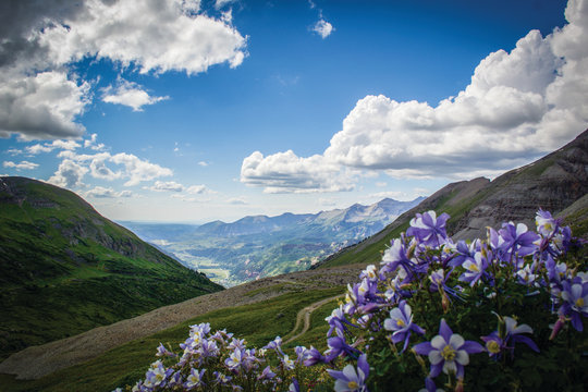 Columbine flowers in the mountains