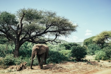 Elephant walking in the forest