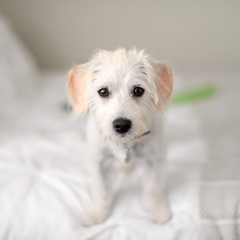 Portrait of puppy standing on bed
