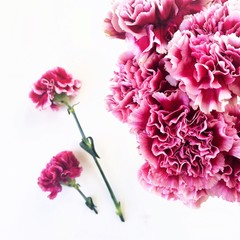 Pink carnations on white background