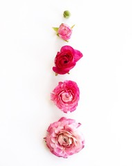 Vibrant pink roses arranged on a white background