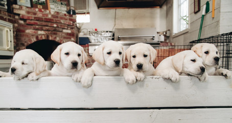 Yellow Labrador puppies looking over a bench