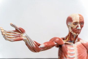 Human anatomy and physiology model in the laboratory.