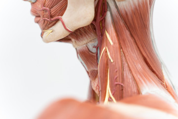 Human neck muscle for education. Wall mural
