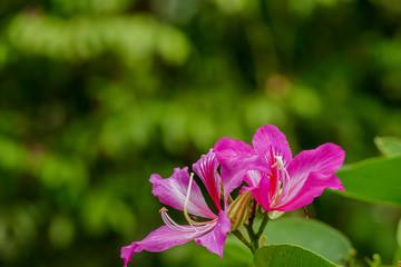 Bauhinia purpurea Linn. Flower